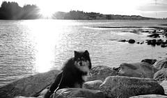"""""""Where are the swans, mom?"""" (evakongshavn) Tags: 7dwf bw blackwhite blacknwhite blackandwhite ocean karmsundet dog dogs dogsonadventures doginsunset flickrdogs dogphotography dogsthathike water waterscape sun sunshine sunsets sunlight sunsetsreflection sunset"""