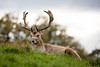 Dyrham Deer 2 (johnlgardiner) Tags: deer animal stag dyrham park nature wildlife