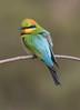 rainbow bee-eater (Merops ornatus) -0358 (rawshorty) Tags: rawshorty birds canberra australia act uriarracrossing