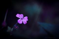 Sony a7 50mm (Jasrmcf) Tags: ilce7 sel50f18f sony sonya7 sony50mm sonyalpha macro macros macrotube dof depthoffield blur smooth bokeh bokehlicious nature ngc greatphotographers colourartaward colours colourful garden vintage flowers flower petals dreamy beautiful pink purple