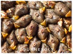 Voyage en Gaspésie (clamato39) Tags: tournesol graines seeds gaspésie provincedequébec québec canada plante flower fleur macro