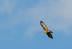 Buzzard (Trevor King 66) Tags: buzzard kestrel jackdaw wildlife nature nikon d3100 bird derbyshire highpeak autumn