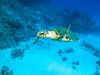 Hawksbill sea turtle (Eretmochelys imbricata) IMG_8835 (David Whistlecraft) Tags: canong12 seasea seaseays27dx underwaterphotography redsea underwater underwaterimages scubadiving scuba marinelife marinefish hawksbillseaturtle eretmochelysimbricate turtle seaturtle