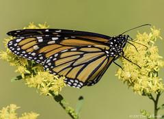 Monarch (Danaus plexippus) (dhollender) Tags: monarchdanausplexippus butterfly insect wildflowers