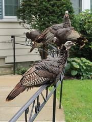 Load-bearing fence (Vox Sciurorum) Tags: flock bird turkey fence belmont massachusetts g7xii