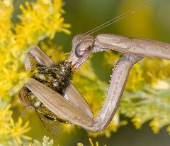 Yum - Bumble Bee for lunch (tresed47) Tags: 2017 201709sep 20170922chestercountymacro canon7d chestercounty content folder insects macro mantis pennsylvania peterscamera petersphotos places season september springtonmanor summer takenby technical us predation ngc