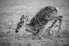 Brian_Fawn Kneeling Down 1 LG BW_083017_2D (starg82343) Tags: 2d brianwallace grayscale blackandwhite monotone deer fawn babydeer whitetail grass kneeling adorable cute animal wild wildlife nature mammal