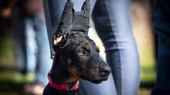 Portrait (zola.kovacsh) Tags: outside outdoor animal pet dog school pup puppy dobermann doberman pinscher