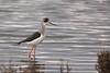 Cavaliere d'Italia (Rob McFrey) Tags: himantopushimantopus cavaliereditalia santagilla stagno uccelli sardegna fauna 150600 g2 tamron