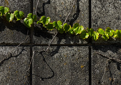 'Juxtapose' (Canadapt) Tags: vine leaves dry wall concrete blocks pattern burnaby canadapt