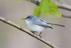 Blue-gray Gnatcatcher (av8s) Tags: bluegraygnatcatcher gnatcatcher birds perchingbirds songbirds nature photography nikon d7100 sigma 120400mm pennsylvania pa