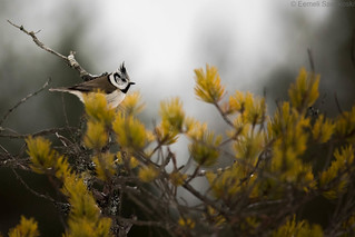 Crested tit on a stunted pine