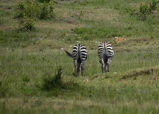 les zebres et la lionne