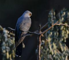 Eurasian Cuckoo (Venugopal Bsnl) Tags: serilingampally owl cuckoo bushchat googleimages venugopalbsnl images imagesvenugopalbsnlgooglebest