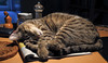 Nelli Already in Weekend Mood (AnyMotion) Tags: nelli table tisch pet cat cats katze katzen animals tiere 2017 anymotion tabby getigert atigrada félin chat gata 6d canoneos6d