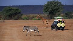 Samburu National Park - Kenya (lens buddy) Tags: samburunationalpark samburu gamereserve kenya africa wildlife nature safari giraffe giraffes babygiraffe towerofgiraffes journeyofgiraffes