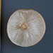 cf. Lyophyllum sp. - Rasling