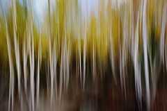 Bouleraie (Patrice StG) Tags: québec fall automne automn gimp pentax pentaxart icm intentionalcameramovement mouvement movement softness soft flou bougé trees arbres forêt forest boisé grove birch bouleaux