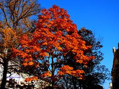 Der Herbst ist da (magritknapp) Tags: berlin friedenau herbst häuser himmel bäume autumn houses sky trees maisons dautomne arbres de ciel casas otoño árboles cielo outono árvores do céu case d autunno alberi
