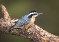 Red-brea.ted Nuthatch (Turk Images) Tags: montanacity pineforest redbreatednuthatch sittacanadensis birds helena montana rbnh sittidae alpine