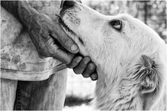 Oggi vi presento Bianca (andaradagio) Tags: andaradagio bianconero bw canon dog cane miglioramicodelluomo nadiadagaro rifugioohana bandaa4zampeumbria