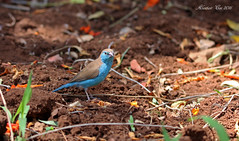Blue Waxbill (Animal Al 18) Tags: bluewaxbill waxbill uraeginthusangolensis uraeginthus angolensis africa africanwildlife africanbirds southafrica canon canon70d canontamron tamron tamron150600mm krugernationalpark kruger krugerwildlife