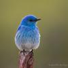 Mountain Bluebird (Turk Images) Tags: aspenparkland isletlake mountainbluebird sialiacurrucoides agriculture alberta birds mobl thrushes turdidae spring