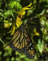 MonarchButterfly_SAF4448-2 (sara97) Tags: danausplexippus butterfly endangered insect missouri monarch monarchbutterfly nature outdoors photobysaraannefinke pollinator saintlouis towergrovepark