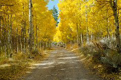 California Gold (Bryan the Roving Vagabond) Tags: autumn fall aspen trees road leaves lundycanyon california ca west coast usa wood dirtroad explore landscape tree grove forest