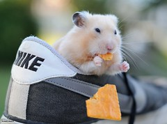 Pay Attention (disgruntledbaker1) Tags: nike food animal hamster drop shoe