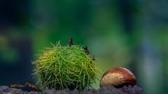 Les marrons (YᗩSᗰIᘉᗴ HᗴᘉS +10 000 000 thx❀) Tags: marron autumn automne season macro forêt forest bois wood nature green hens belgium belgique courrière troplan meyer f28