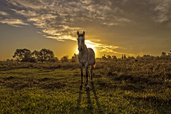 This is the end? (Wal Wsg) Tags: caballo horse yegua potro caballohorse atardecer sunset sunrise ocaso atardece campo field mundoanimal animalworld thisistheend canoneosrebelt3 argentina argentinabsas provinciadebuenosaires villaelisa argentinavillaelisa dia day phwalterweisinger walwsg phwalwsg
