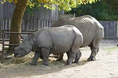 Neushoorn (~~Nelly~~) Tags: mechelen planckendael neushoorn rhinoceros