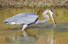 Morning Snack (tresed47) Tags: 2017 201710oct 20171018extonparkmisc birds canon7d chestercounty content fall folder greatblueheron heron october pennsylvania peterscamera petersphotos places season takenby us ngc npc