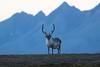 Svalbard Reindeer at Festningen S24A2707 (grebberg) Tags: geological fieldwork festningen spitsbergen svalbard september 2017 svalbardreindeer rangifertarandusplatyrhynchus rangifer rangifertarandus reindeer
