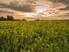 Rapeseed flowering outside of Dorking (missfisher') Tags: samyang12mm omdem10 olympus surrey dorking rapeseed field