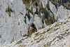 Stambecco delle Dolomiti Bellunesi (Claudio Ghizzo) Tags: steinbock capraibex stambecco stambecchi dolomitibellunesi nikon d7100 natura wildlife wildlifephoto naturalisticphoto fotografianaturalistica altamontagna lunghecorna tracce trail trails