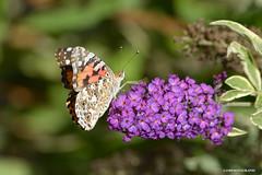 Tap on it. (JSB PHOTOGRAPHS) Tags: jsb082400001 butterfly butterflybush nikon d600 28300mm owenmemorialrosegarden owenrosegarden eugeneoregon bokehlicious bokeh