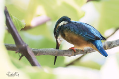 Is there any fish (My Pixel Magic) Tags: commonkingfisher kingfisher bird wildlife nikon1v3 nikon1nikkor70300
