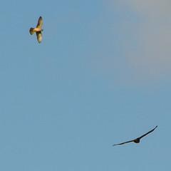 Buzzard and Kestrel (Trevor King 66) Tags: buzzard kestrel jackdaw wildlife nature nikon d3100 bird derbyshire highpeak autumn