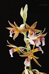 Phaius tonkervileae (Harlz_) Tags: phaiustonkervileae swamp orchid species flower bloom