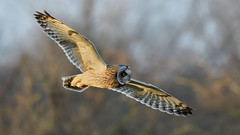 Short-eared Owl (image 1 of 2) (Full Moon Images) Tags: wildlife nature east anglia fens cambridgeshire bird birdofprey flight flying shorteared owl short eared seo