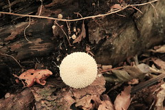 mush2 (Tony Wyatt Photography) Tags: eppingforest epping forest london woods trees beech mushrooms flyagaric alienmushroom puffball corporationoflondon autumn roots treeroots austin austinofengland austincar oldfolks