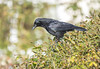 Carrion Crow LB Garden 30-10-2017-6465 (seandarcy2) Tags: crow carrion lb garden beds uk corvid very clever