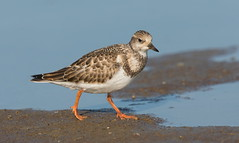 Ruddy Turnstone (mandokid1) Tags: canon 1dx ef400mmdoii birds shorebirds