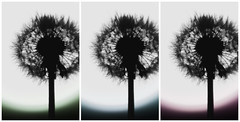 Triptych of dandelions (shaplov) Tags: dandelions triptych nature russia trio flower bw summer sunset