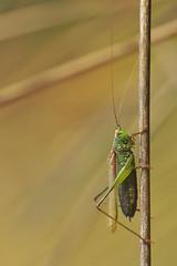 Conocephalus Dorsalis - 105mm Macro (Visual Stripes) Tags: grasshopper insect grass macro sigma105mm panasoniclumixg1 handheld composition bokeh depthoffield dof