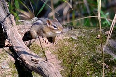 Taking a Peek (Imagination04) Tags: lakewood forest preserve lake county il illinois fujifilm fujinon xf 55200mm 55 200 f3548 lm ois xt1 chipmunk chip sciuridae animal fur rodent