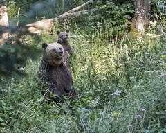IMG_6651 (Branko.Hlad) Tags: medvedka bears gozd narava živali animals