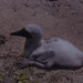 Blue-faced booby chick. Sida. Wizard Island